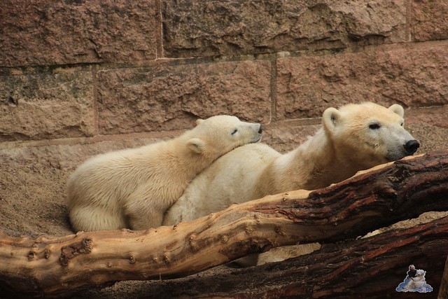 Eisbär Fiete im Zoo Rostock 14.06.2015  2