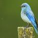 Mountain Bluebird in the rain