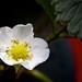 strawberry flower (macro)