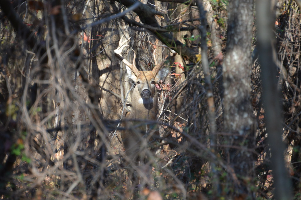 Photo of deer in woods, photographed by Douglas E George