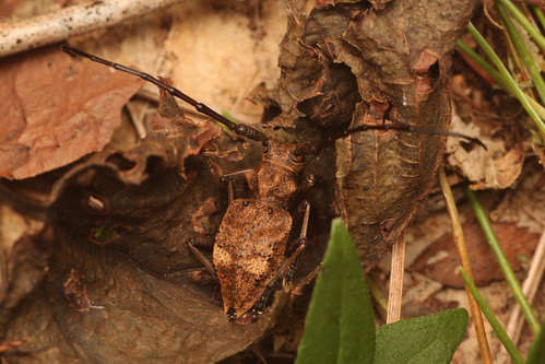 フジコブヤハズカミキリ