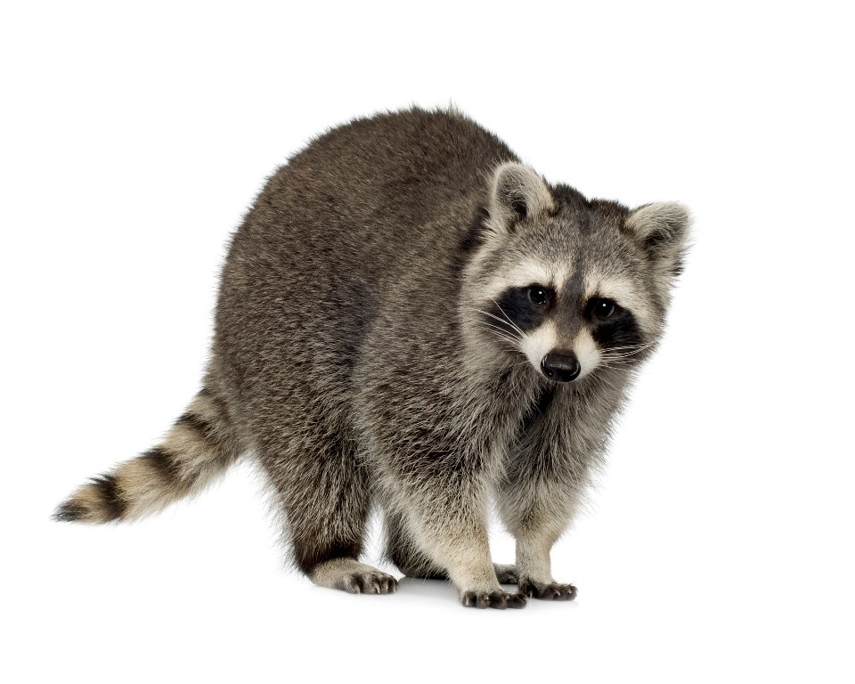 Raccoon white background