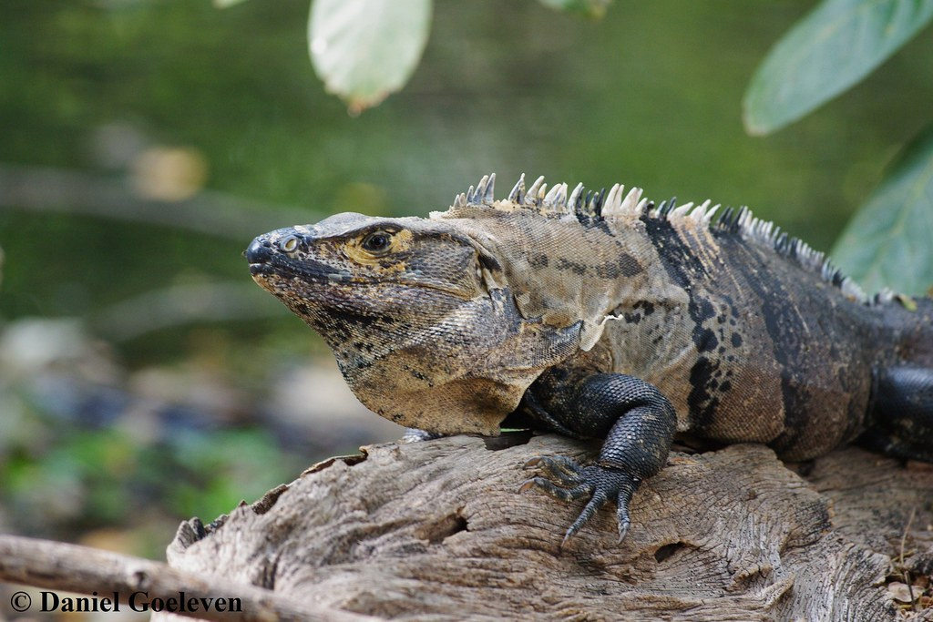 Iguanidae Similis Iguanidae