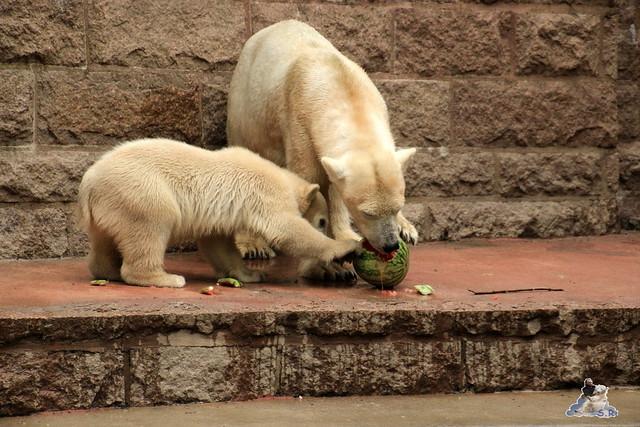 Eisbär Fiete im Zoo Rostock 14.06.2015  11