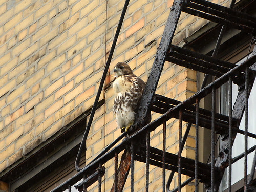 Wright Park Hawk Fledgling - 3333
