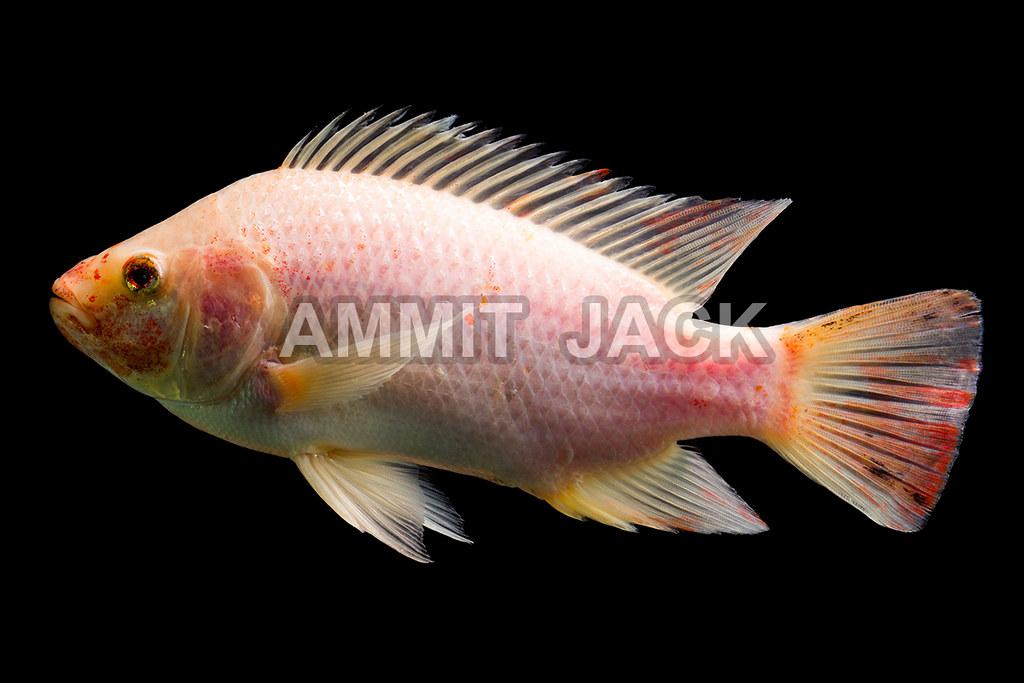 Red tilapia fish high quality shot of red tilapia fish for Tilapia aquarium