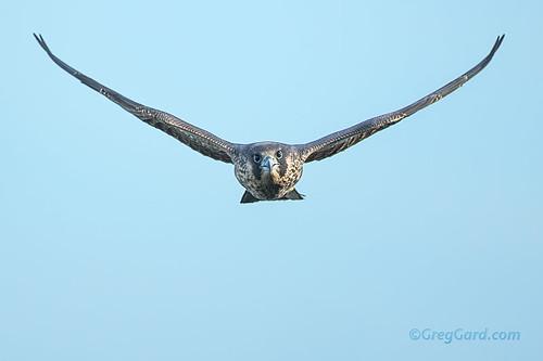Incoming juvenile male Peregrine Falcon
