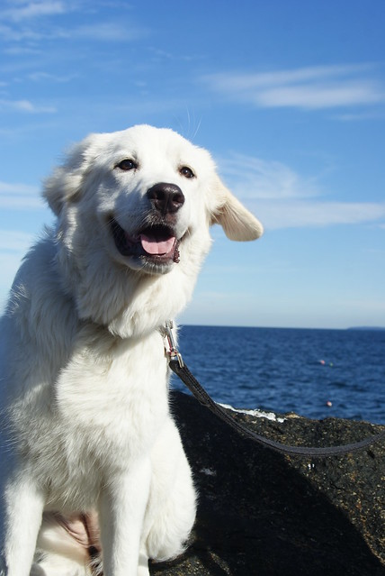 Cassidy Great Pyrenees On The Coast Of Maine Flickr