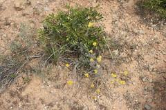 G2- Max Rebenaque- helichrysum stoechas- sempre viva borda