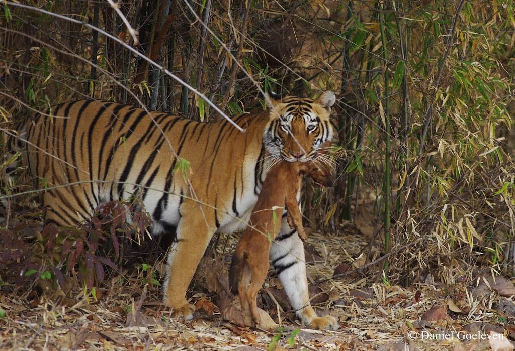 Tiger (panthera tigris), Felidae AND Dhole (Cuon alpinus),… | Flickr Kill