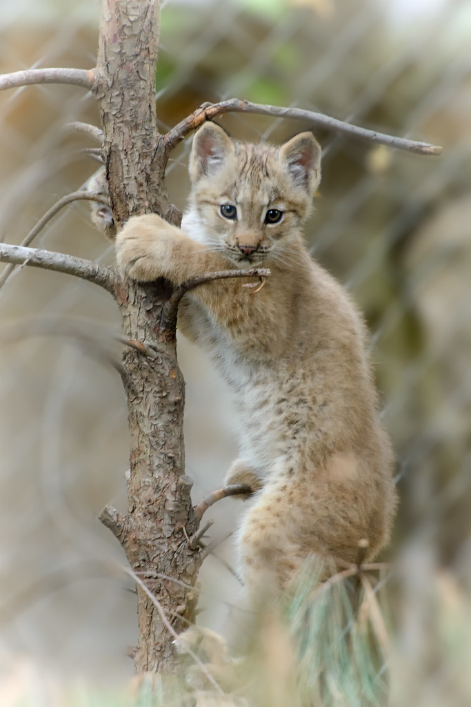 What is the wild cat's name with pointy ears? - answers.com