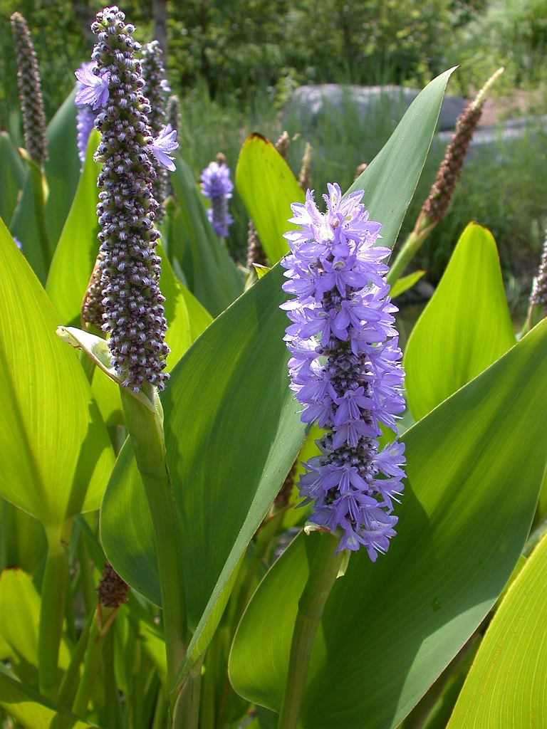 Pickerelweed (Pontederia cordata)