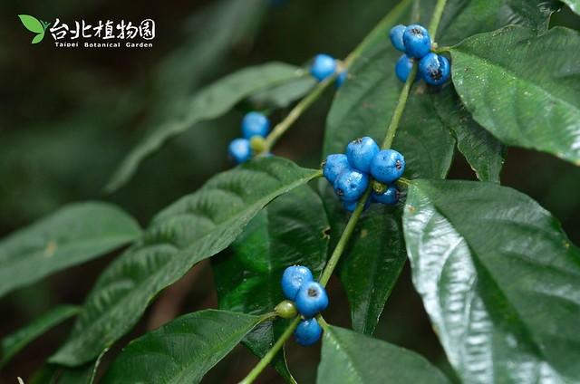 琉璃雞屎樹。圖片來源:台北植物園。
