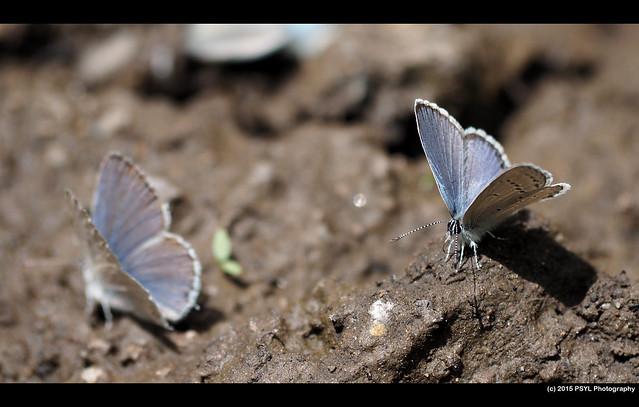 Silvery blue butterflies (Glaucopsyche lygdamus)