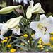 Лилия белоснежная (Lilium L.)
