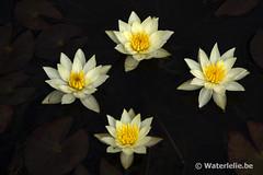 Nymphaea Pygmaea Helvola
