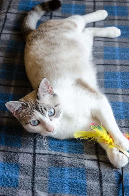Iris, gatita cruce siamesa dulce y mimosona esterilizada, nacida en Agosto´16, en adopción. Valencia. ADOPTADA. 33320514905_66138e7e70_z