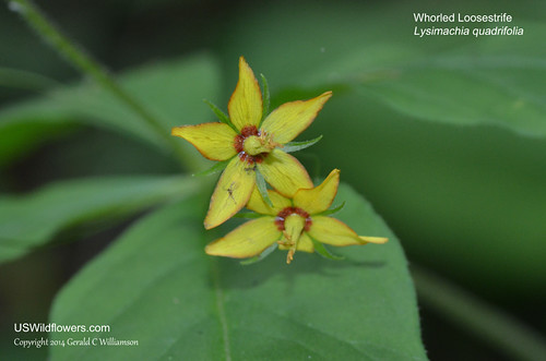 Whorled Loosestrife - Lysimachia quadrifolia - Low Gap Trail, Great Smoky Mountains National Park