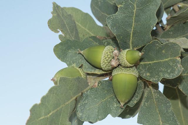 Quercus douglasii  Blue Oak  AcornsBlue Oak Acorn