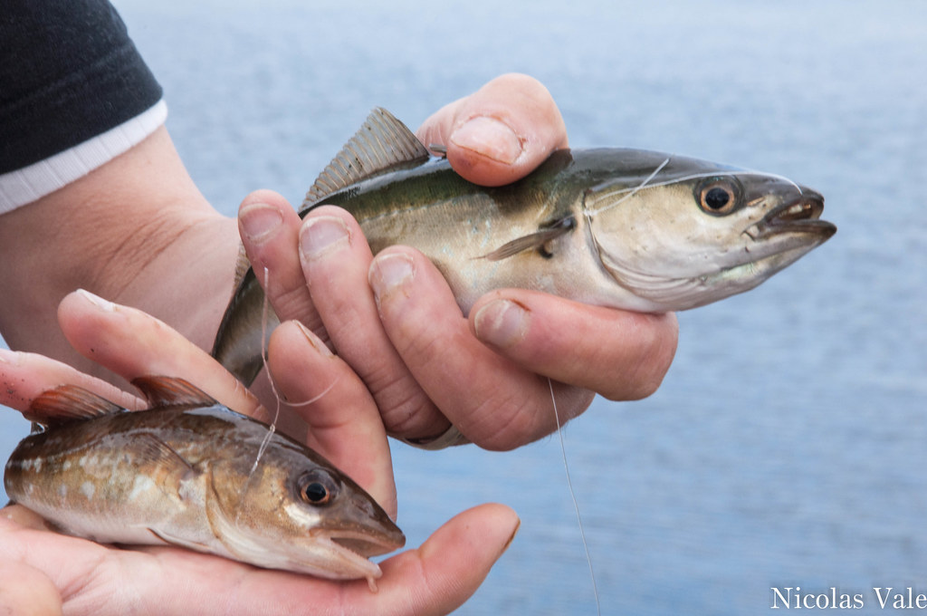 Clyde estuary fish species quick cast into the clyde for White fish types