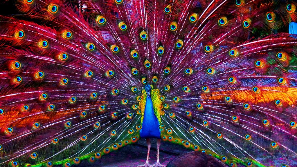 Pavo real full color claudia murcia flickr - Fotos de un pavo real ...
