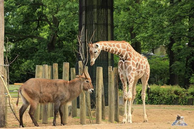 Zoo Berlin 19.06.   2015110