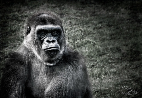 Image of a Western Lowland Gorilla from the Jacksonville Zoo
