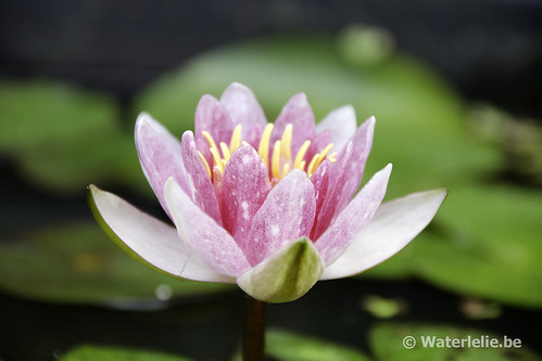 Waterlelie Perry's Baby Pink / Nymphaea Perry's Baby Pink
