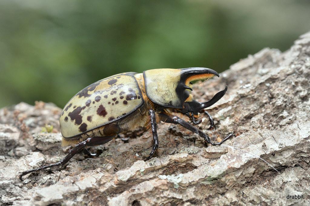 Eastern Hercules Beetle Dynastes Tityus The Largest
