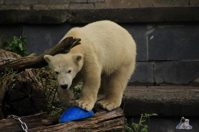 Eisbär Fiete im Zoo Rostock  28