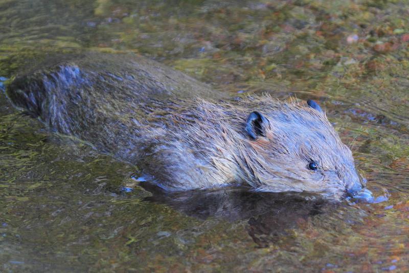 IMG_2015 Beaver