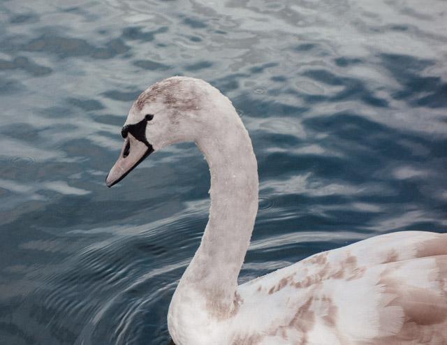 swan at roath park lake