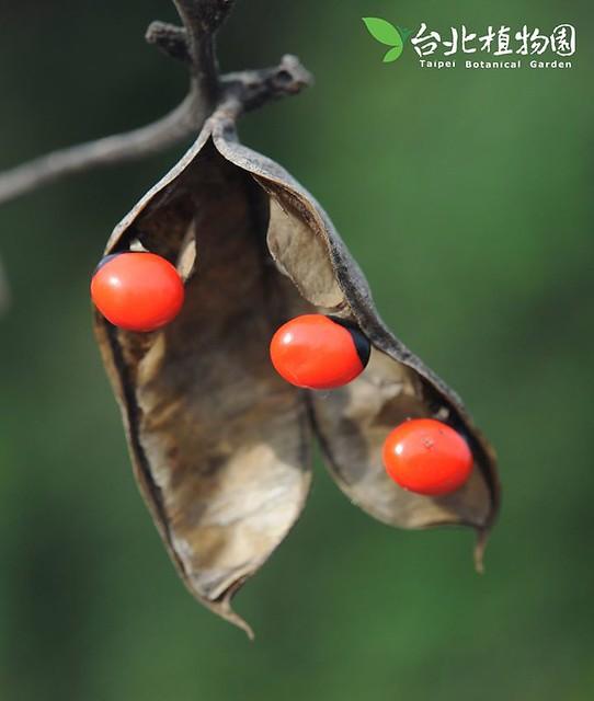 雞母珠。圖片來源:台北植物園。