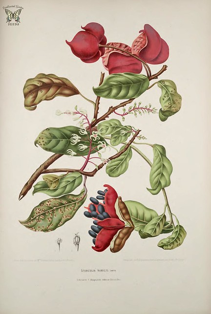 Seven Sisters' Fruit. Sterculia monosperma [as Sterculia nobilis]   Fleurs, fruits et feuillages choisis de l'ille de Java -peints d'après nature par Berthe Hoola van Nooten (1880)