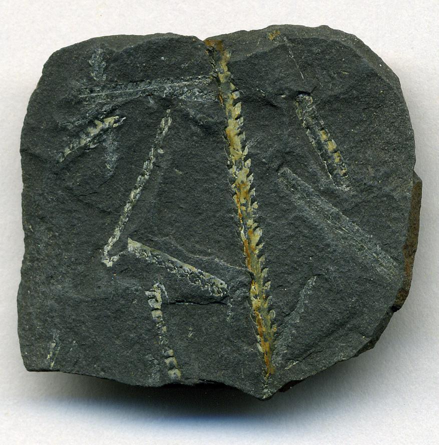 Climacograptus Wilsoni Fossil Graptolites Lower Hartfell