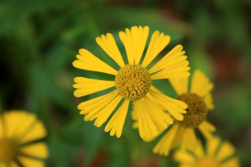 Common Sneezeweed, Helenium autumnale
