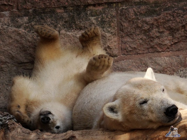 Eisbär Fiete im Zoo Rostock 14.06.2015  7