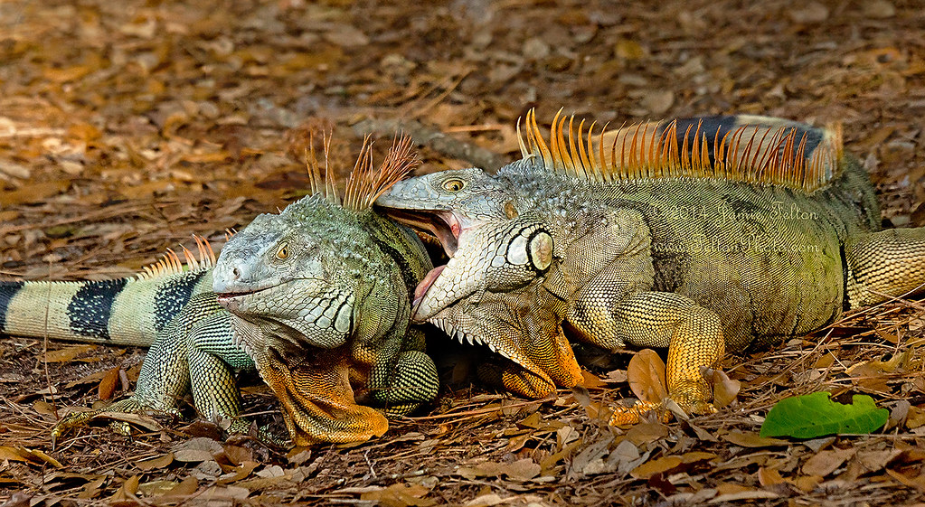 iguana fighting over territory