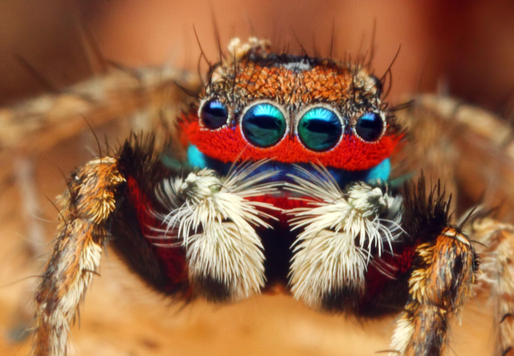 Colorful jumping spider - photo#17