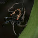 Orb Weaver Spider- Parawixia dehaani ♀