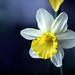 Daffodil Number 2