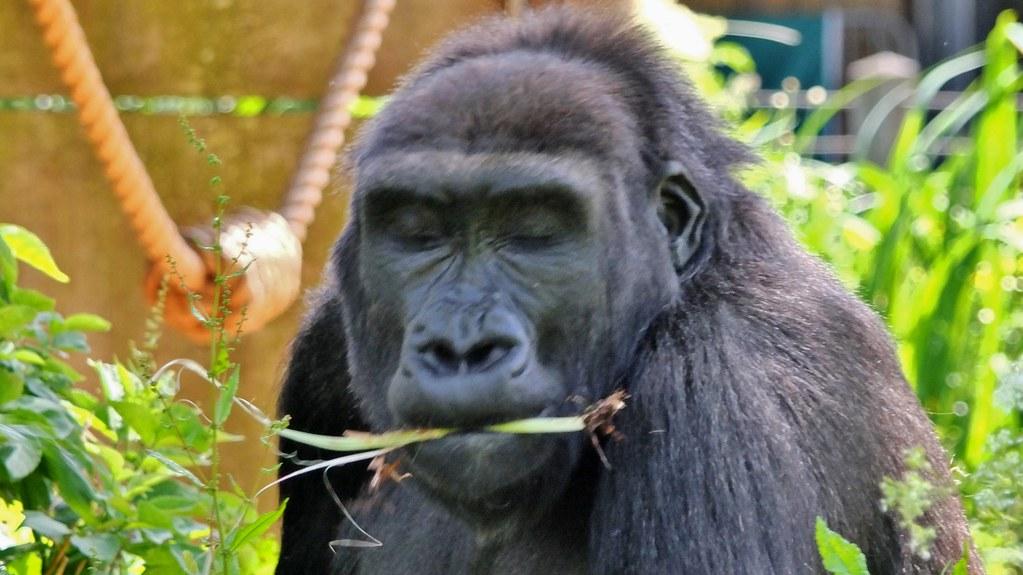 Bristol Zoo Gorilla Glass Roofed Walk