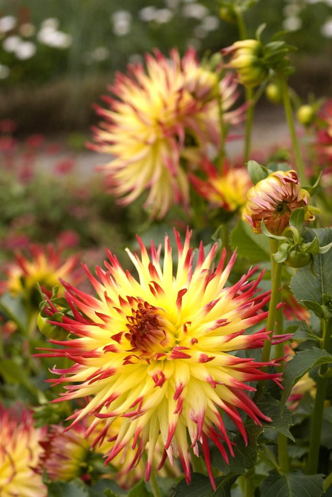 dahlia hybride cactus incurv u00e9 cv  jessica