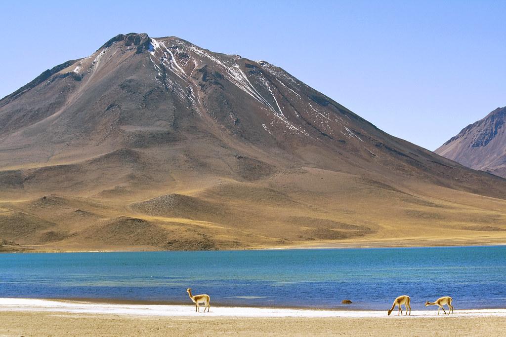 Deep Blue Color >> Vicuñas, Laguna Miscanti, Chile   Miscanti Lake (Spanish: La…   Flickr