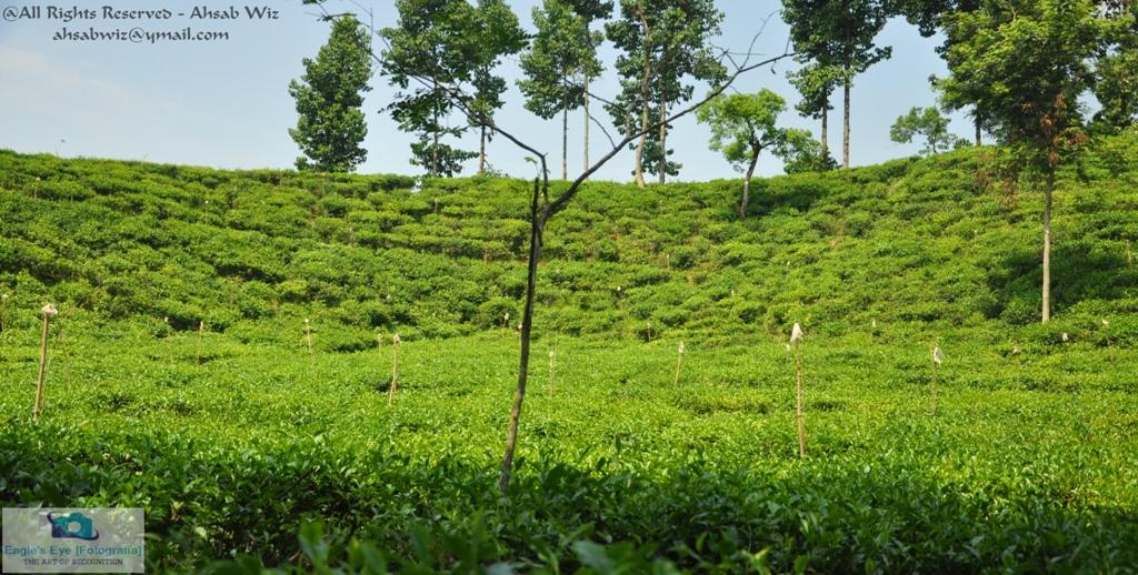 tea gardenheritage  sylhet bangladesh ahsab wiz