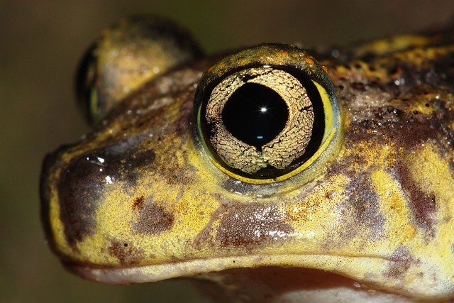 Eastern spadefoot eye