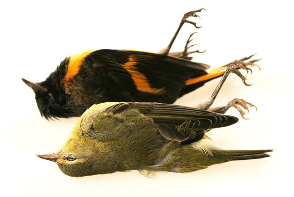 Dead American Redstart and Tennessee Warbler