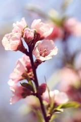 Peach Blossom by biankahoff