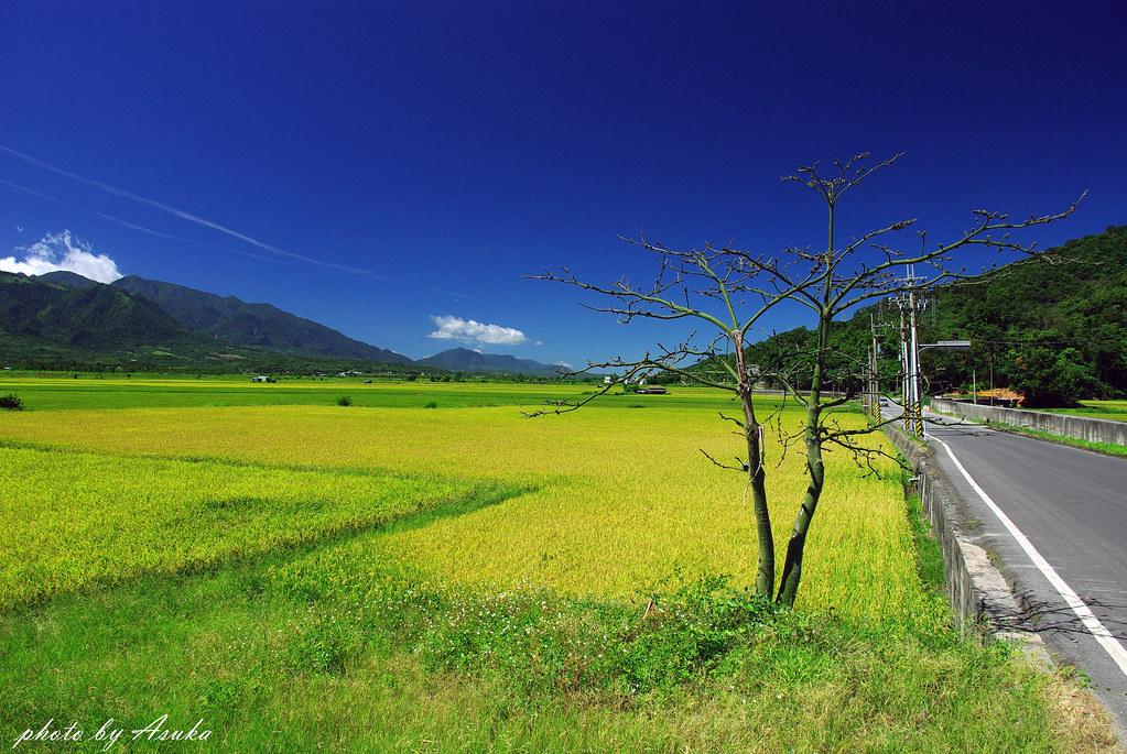 20150616 仲夏的花東稻穗熟了