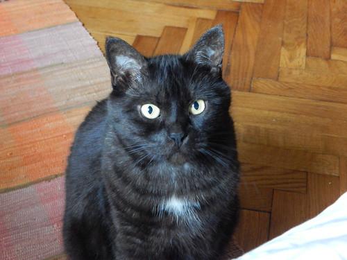 чёрный кот Муся